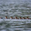 Common Merganser with chicks in Denali National Park