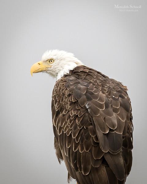 Bald Eagle in Seward