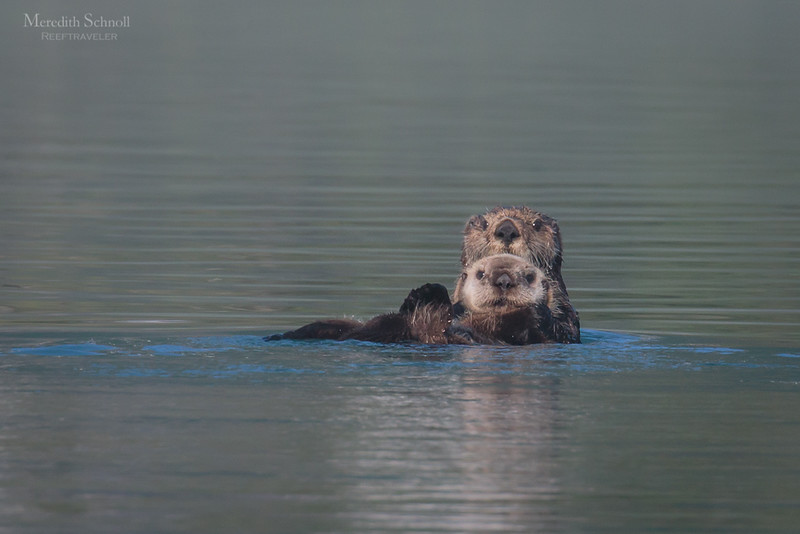 Sea Otter with Pup in Pedersen Lagoon in Kenai Fjords National Park