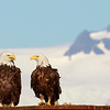 Bald Eagle Pair in Homer