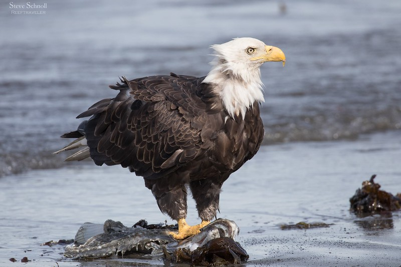 Bald Eagle with Catch in Anchor Point