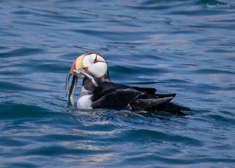 Horned Puffin in Resurrection Bay in Kenai Fjords National Park
