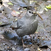 Grey Catbird with Dragonfly