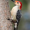 Red-bellied Woodpecker (Adult Male)