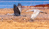 New Mexico - Birds at Bosque del Apache Nat'l Wildlife Refuge - D6-C4-0013 - 72 ppi-2