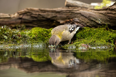 Female Evening Grosbeak Drinking