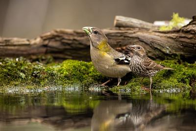 Female Evening Grosbeak and Cassin's Finch