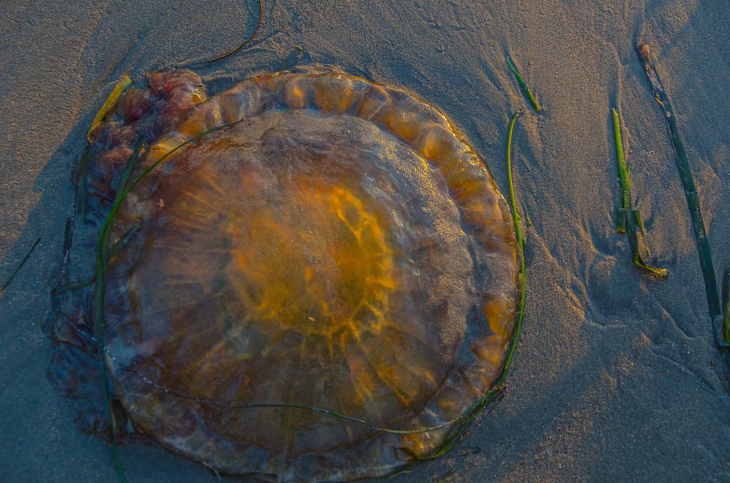 Jelly Fish at Sundown