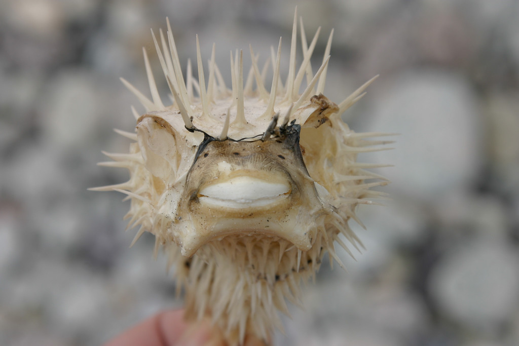 Naked Puffer Fish