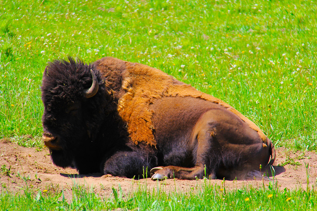 Range Buffalo