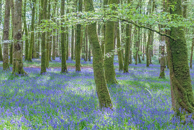 Bluebells at Derreen Woods, Co. Roscommon