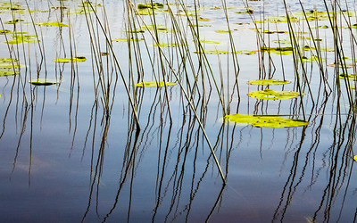 Green Rushes and Lily Pads , Lough Drumharlow, Co. Roscommon