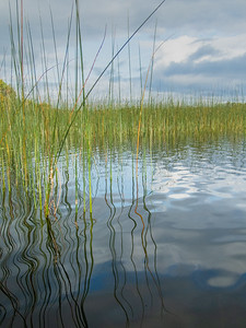 Boyle River Reeds in the Blue, Co. Roscommon
