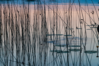 Sunset Reeds on Lough Drumharlow , Co. Roscommon