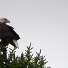 Eagle in Residence