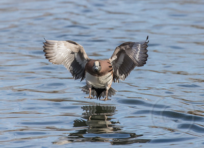 Wigeon Water Wings