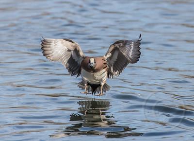 Wigeon Water Wings