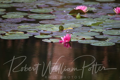 2004-Water Lilies & Reflections