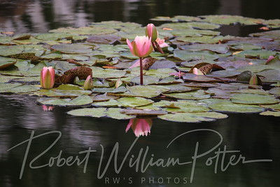 1992-Water Lilies & Reflection