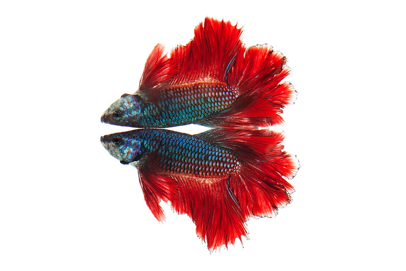 """Rose petal"" Male Betta"