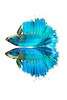 Rose Petal (male) - Siamese Fighting Fish