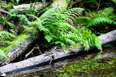 Streamside Ferns