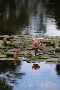 1999-Water Lily & Reflection