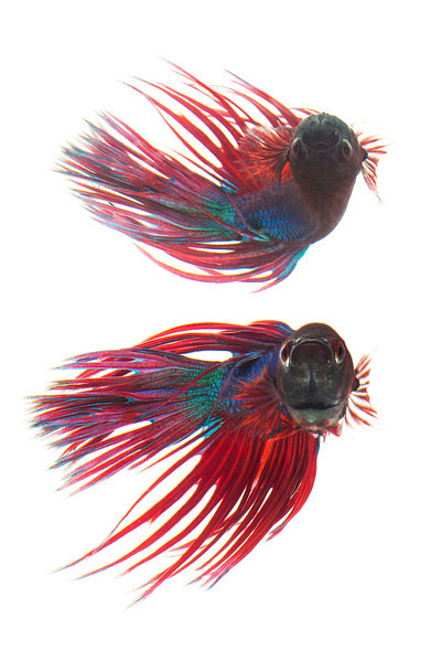 Crown tail (Male) Betta - Siamese Fighting Fish