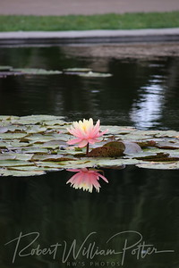 1867-Lone Water Lily with reflection