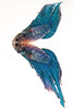 Veiltail Betta (male) - Siamese Fighting fish