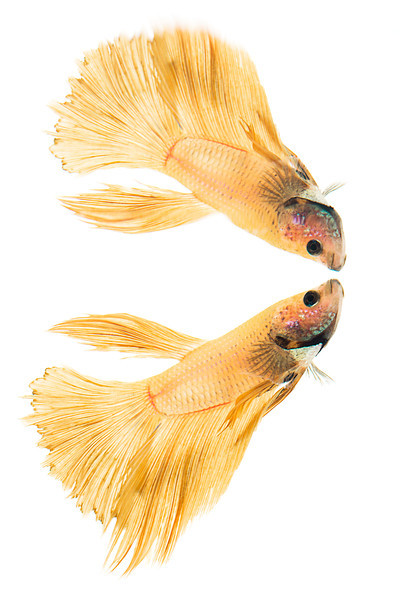 Half-Moon (male) - Siamese Fighting Fish