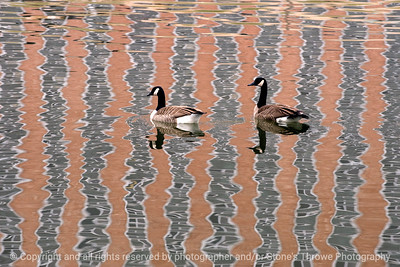 015-geese_reflection-dsm-13dec11-003-2555