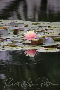 1875-Water Lily & Reflection