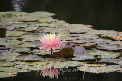 1874-Water Lily