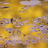 L'étang doré