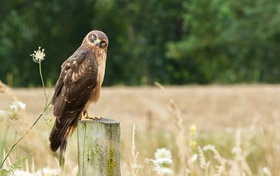 Northern Harrier,