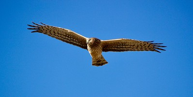 Northern Harrier over the Refuge