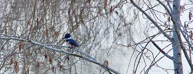 Kingfisher Along the Columbia River