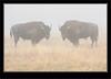 Buffalo Spring Time In Yellowstone