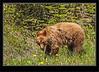 Brown Phased Black Bear