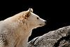 White Phased Black Bear