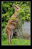 Columbia Black-tailed  Deer