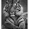Sumatran Tiger Phoenix Zoo