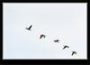White=faced Ibis