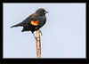 Red-winged Blackbird Male Winter Plumage