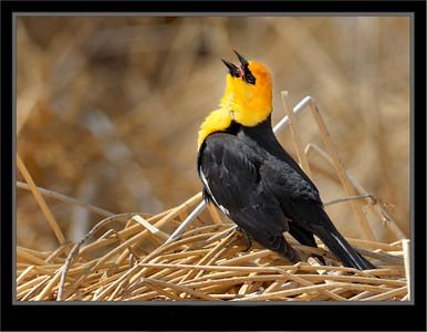 Blackbirds, Cowbirds, Grackles, Orioles