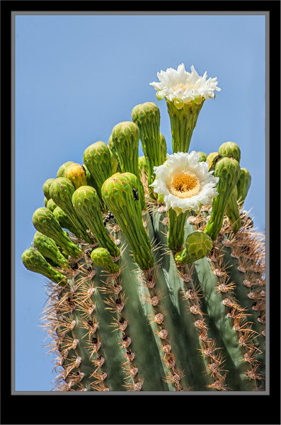 Cactus Saguaro Bloom