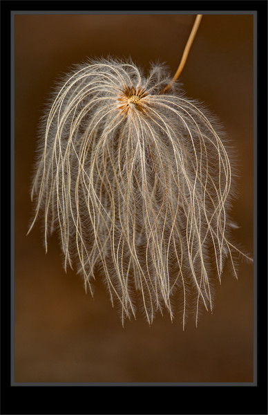 Clementis  Seed Head