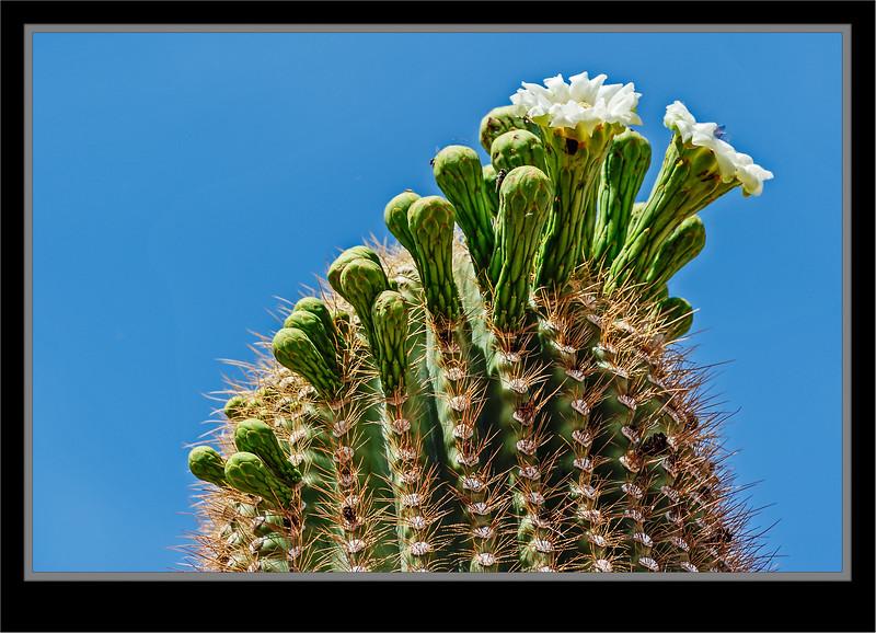 Cactus Saguaro Bloom