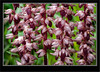 Coral Root Striped